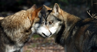 lupi-vittime-di-bracconaggio